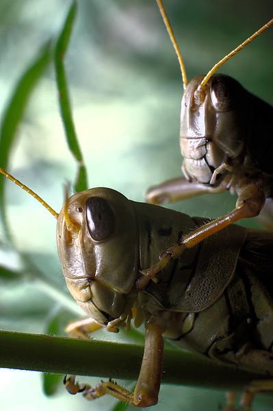 Grasshoppers II