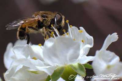 Bee on Plum blossom