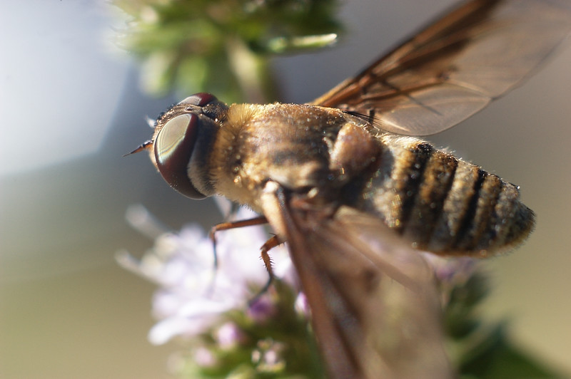 Winged Creature Pollinating Spearmint Flowers