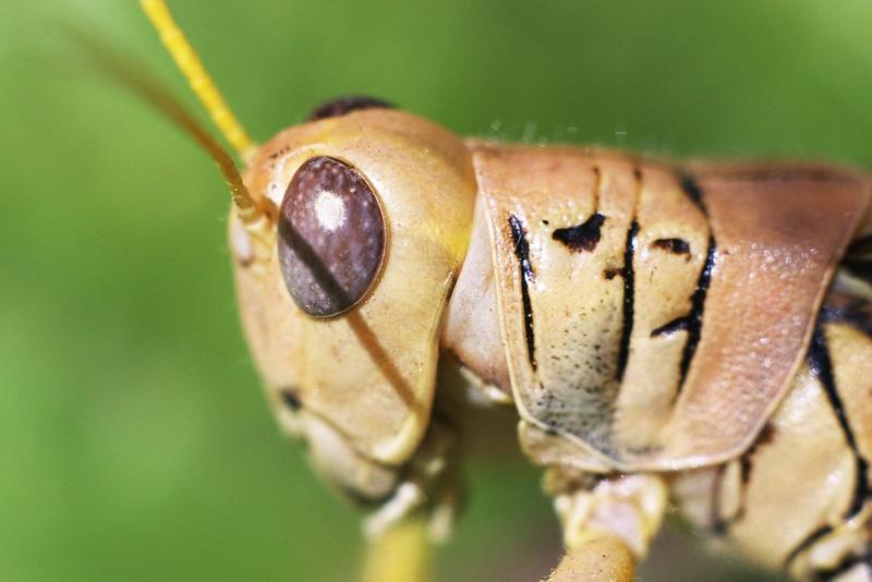 Handheld, no flash Grasshopper