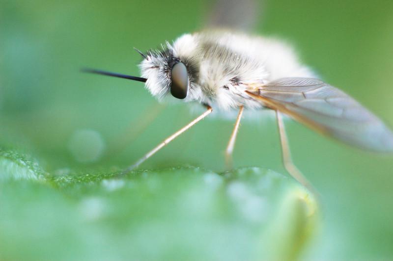 Whitish Grayish Moth flying thingy.