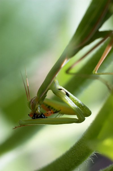 Praying mantis having lunch