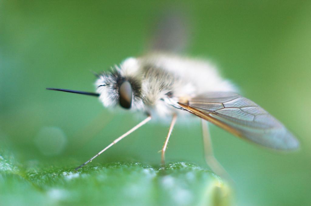 It's white, it's fuzzy, and it flys but It's not a white fly.