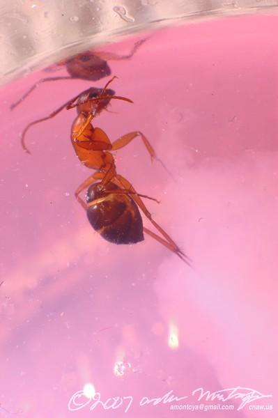 Dead ant in lemondade