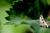 Grasshopper on Sunflower Leaf