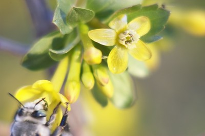 Sitting around waiting for a bee to land on my flower (camera on tripod). Finally it happens, but not enough DOF. doh!