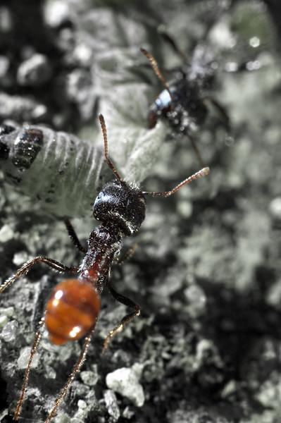 Ants dragging dinner home