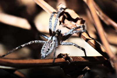 Spider hunting at night. (used a flashlight to focus on it, and a remote flash to make things a light as day)