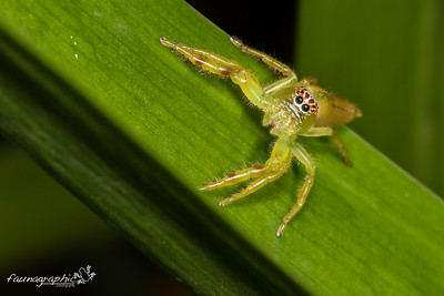Monkey Faced Spider