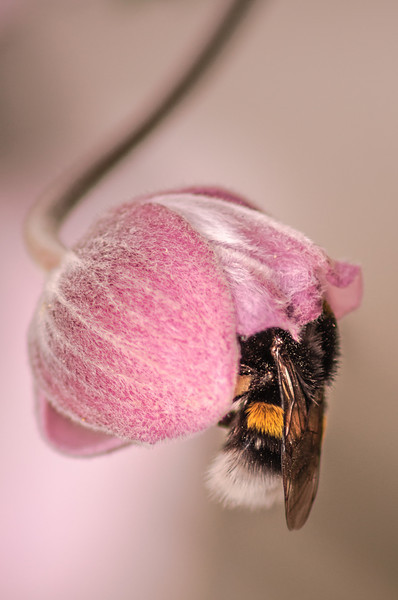 Bee in Pink Flower