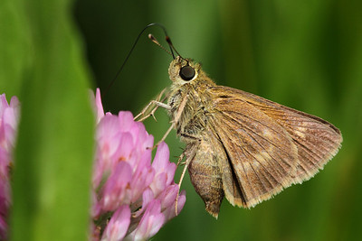 European Skipper butterfly; slideshow2015