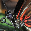If you are lucky and get close to a butterfly you can really see the different body parts. The thorax (breast part, located between head and the abdomen) has strong muscles that help the butterfly move its legs and wings; but more surprisingly; the fine hairs looks like beautiful fur, colorful, fluffy and warm!<br /> And maybe it keeps the butterfly warm too, for a butterfly cannot fly if their internal thorax temperature is below 55 to 65 degrees, but with the right temperature a butterfly can fly very intently at around 5 miles per hour