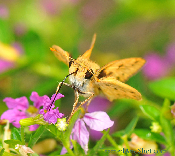 Drinks provided – bring you own straw…. This is another shot from our garden. We are not absolutely sure of the right name, but we think this is an Ochlodes Venana, a skipper butterfly from the Hesperiidae family.<br /> What ever name he's got; he sure likes our nectar and he always brings his own straw!