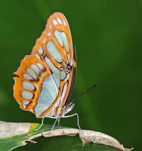 "Malachite butterfly [Siproeta stelenes] is named after the mineral <a title=""Malachite"" href=""http://en.wikipedia.org/wiki/Malachite"">malachite</a>, which is similar in color to the green on the butterfly's wings. The wingspread is typically between 8.5 and 10 cm. The malachite is found throughout Central and northern South America, where it is one of the most common butterfly species. Its distribution extends as far north as southern Texas and the tip of Florida.  They have a rather fancy diet; Adults feed on flower nectar, rotting fruit, dead animals, and bat dung!"