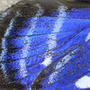 "This is it I The representation of the beginnings of The Chaos Theory (the famous '<a href=""http://en.wikipedia.org/wiki/Butterfly_effect"" target=""_blank"">Butterfly Effect</a>'). This is a close up of a butterfly wing. A butterfly has four wings, two forewings and two hindwings and they are a fascinating construction; Butterfly wings are made of two chitonous layers (membranes) that are nourished and supported by tubular veins. The veins also function in oxygen exchange (""breathing""). Covering the wings are thousands of colorful scales, together with many hairs (setae). The name Lepidoptera (which includes butterflies and moths) means ""scale wing"" in Greek. These wing scales are tiny overlapping pieces of chitin on a butterfly or moth wing. The scales are outgrowths of the body wall and are modified, plate-like setae (hairs). The front and back of the wings usually have different patterns.  It is a joy to watch butterflies and with the hurricanes we have had lately, we should probably watch them closer...."