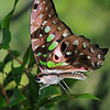 "Green Spotted Triangle [Graphium agamemnon]<br /> Just living is not enough,' said the butterfly, 'one must have sunshine, freedom and a little flower. "" - H.C. Andersen – 1862 <br /> An adult butterfly has an average life-span of approximately one month. In the wild, most butterflieslives are shorter than this because of the dangers provided by predators, disease, and large objects, such as cars. The smallest butterflies may live only a week or so, while a few butterflies, such as Monarchs, Mourning Cloaks and tropical heliconians, can live up to nine months.<br /> ."