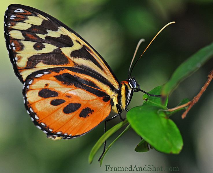 Tiger Longwing butterfly [Heliconius hecale]