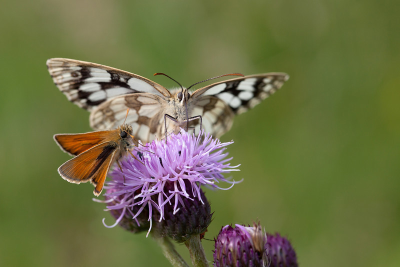 MARBLED WHITE and SMALL SKIPPER  #1