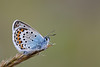 SILVER STUDDED BLUE male   2011   #2