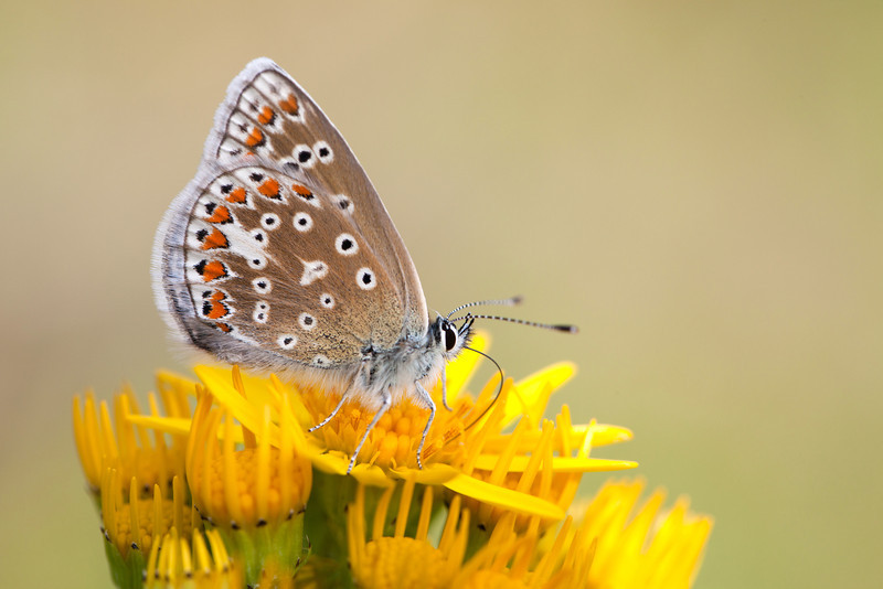 COMMON BLUE FEEDING  2011
