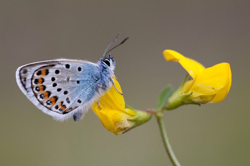 SILVER STUDDED BLUE    2011   #7