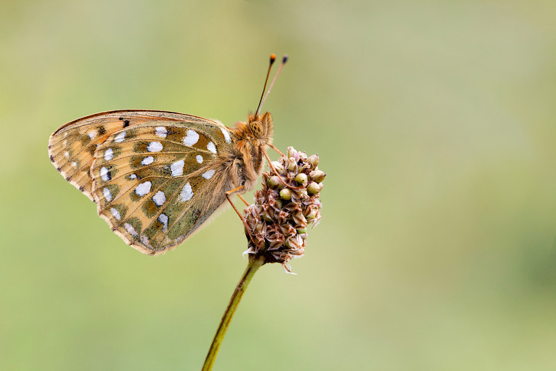 DARK GREEN FRITILLARY  PERCHED