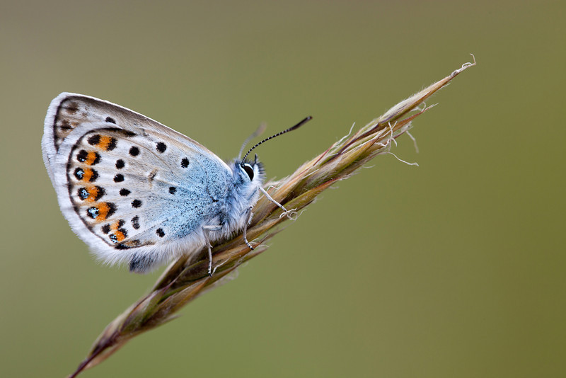 SILVER STUDDED BLUE male   2011   #4