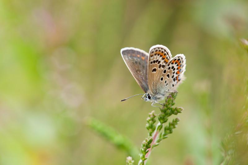 Female Silver Studd blue