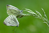 GREEN VEINED WHITE PAIR 2011