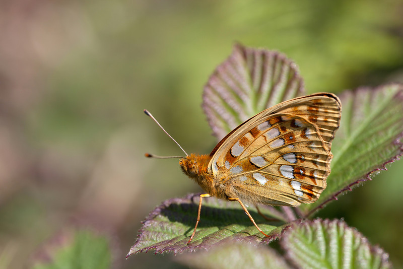 HIGH BROWN FRITILLARY Argynnis adippe  #5