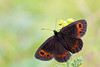 SCOTCH ARGUS  Erebia aethiops  #1