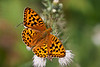 HIGH BROWN FRITILLARY   #4