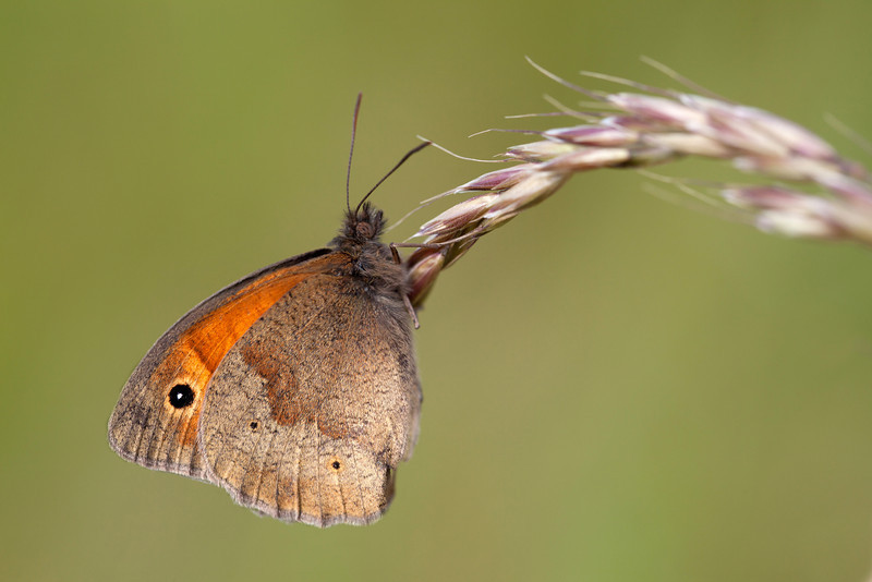 MEADOW BROWN IN MORNING LIGHT #2