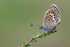 SILVER STUDDED BLUE  2011  #6
