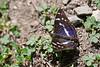 PURPLE EMPEROR  Apatura iris  #3