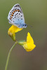SILVER STUDDED BLUE    2011   #8