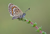 SILVER STUDDED BLUE female 2011
