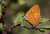 BROWN HAIRSTREAK  2011  #5