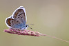 SILVER STUDDED BLUE    2011   #12
