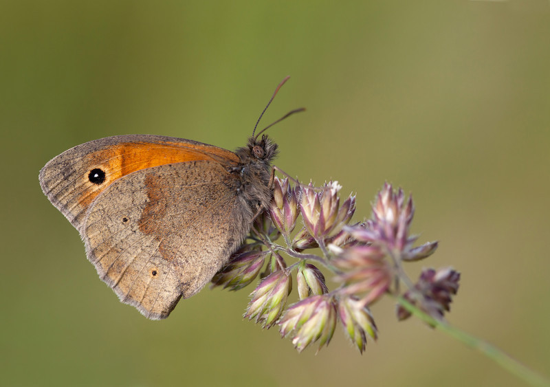 MEADOW BROWN IN MORNING LIGHT #1