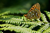 DARK GREEN FRITILLARY  2011  #6