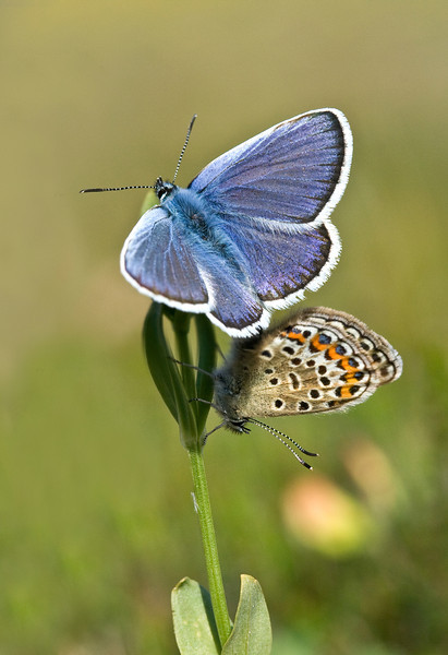 SILVER STUDDED BLUE PAIR    #19 jpg  FOCUS STACKED VERSION