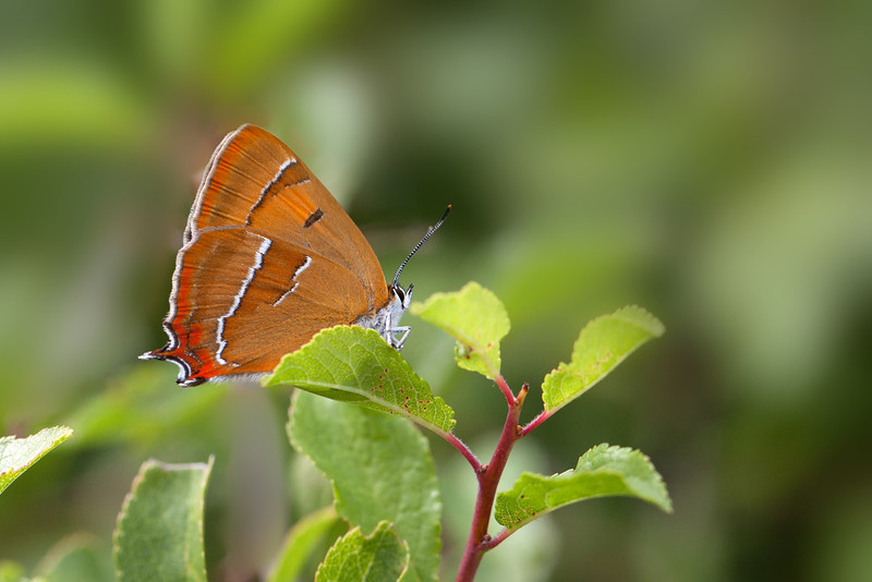 BROWN HAIRSTREAK  2011  #1