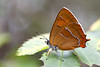 BROWN HAIRSTREAK  2011  #2