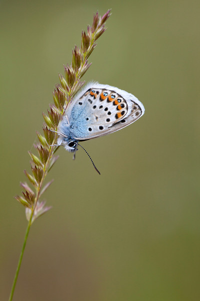 SILVER STUDDED BLUE male   2011   #5