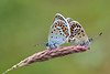 SILVER STUDDED BLUE PAIR   2011  #8