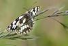 MARBLED WHITE  melanargia galathea  #4