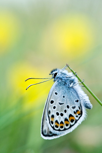 SILVER STUDDED BLUE  #25
