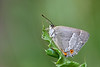 PURPLE HAIRSTREAK  neozephyrus quercus  #1