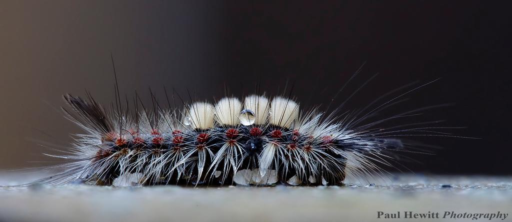 Rusty Tussock Moth larva (Orgyia antiqua)